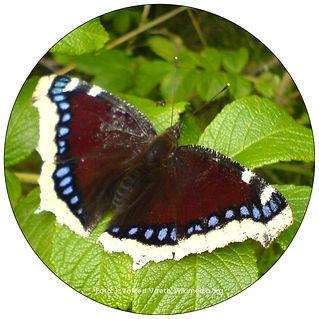 Trauermantel, Schmetterling in Frauenfeld, Gartenpflege Frauenfeld, Schmeterlingsgarten anlegen