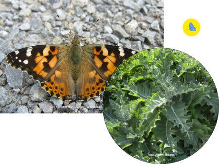 Distelfalter, Schmetterling, Raupenfutterpflanzen, Schmetterlingspflanze, Zürich