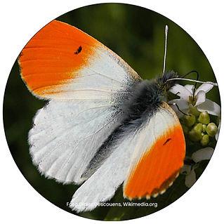 Aurorafalter, Schmetterling in Zürich, Gartenpflege Zürich, Schmeterlingsgarten anlegen