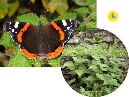 Admiralfalter, Schmetterling, Futterpflanze, Brennnessel, Schmetterlingspflanze, Zürich