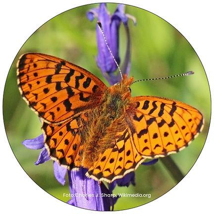 Schmetterling in Winterthur, Gartenpflege Winterthur, Schmeterlingsgarten anlegen