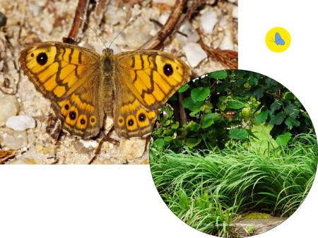 Mauerfuchs, Schmetterling, Futterpflanze, Schmetterlingspflanze, Kanton Zürich