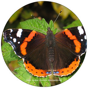 Admiralfalter, Tagpfauenauge, Schmetterling in Uster, Gartenpflege Uster, Schmetterlingsgarten anlegen in Uster