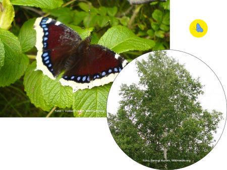 Schmetterling, Trauermantel, Raupe-futterpflanze, Schmetterlingspflanze, Zürich