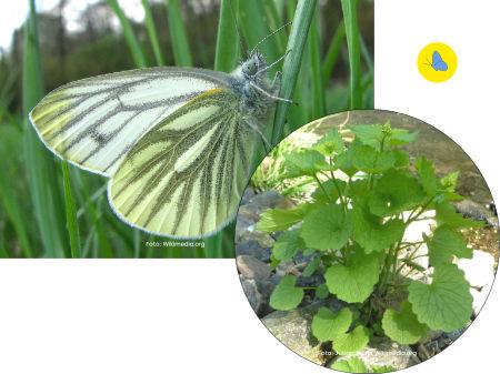 Rapsweissling, Schmetterling, Raupe-Futterpflanze, Zürich