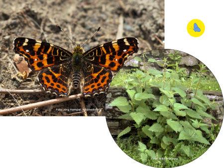 Landkaertchen, Schmetterling, Futterpflanze, Zürich