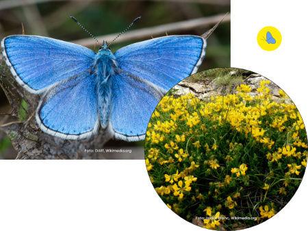 Himmelblaue Bläuling, Schmetterling, Futterpflanze, Schmetterlingspflanzen, Zürich