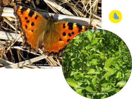 Schmetterling Zürich, Schmetterlingsgarten anlegen, Schmetterlinge in Zürich, Futterplanze