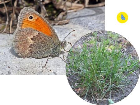 Kleine Wiesenvoegelchel, Schmetterling, Futterpflanze, Zürich