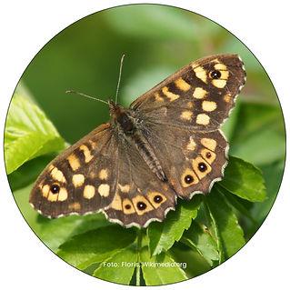 Waldbrettpiel, Schmetterling in Kloten, Gartenpflege Kloten, Schmeterlingsgarten anlegen