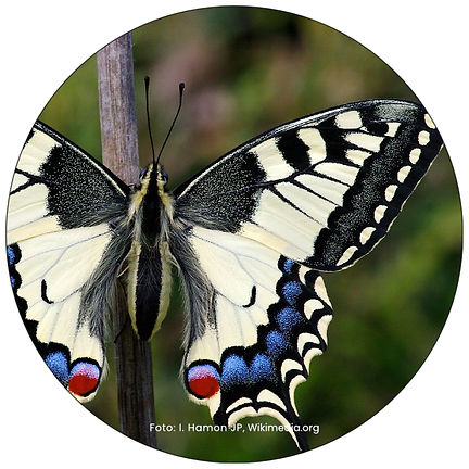 Schwalbenschwanz, Schmetterling in Winterthur, Gartenpflege Winterthur, Schmeterlingsgarten anlegen