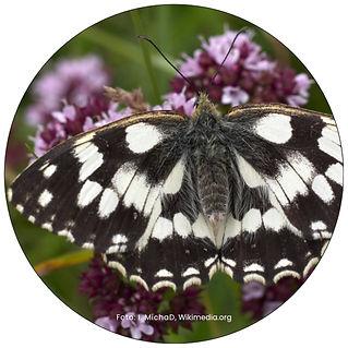 Schachbrett, Schmetterling in Uster, Gartenpflege Uster, Schmeterlingsgarten anlegen
