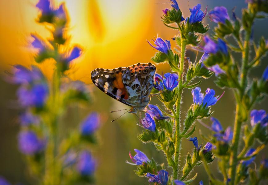Distelfalter, Schmetterling Winterthur, Schmetterlingsgarten anlegen, Schmetterling in Zürich