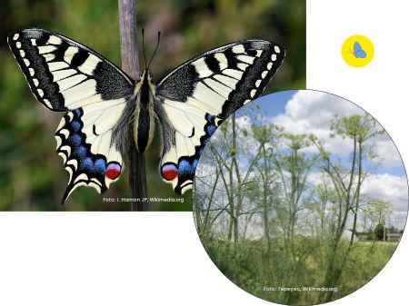 Schwalbenschwanz, Schmetterling, Futterpflanze, Schmetterlingspflanze, Zürich
