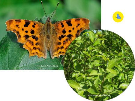 C-Falter, Schmetterling, Raupe-Nahrungspflanze, Zürich