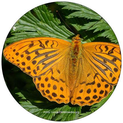 Kaisermantel, Schmetterling in Winterthur, Gartenpflege Winterthur, Schmeterlingsgarten anlegen