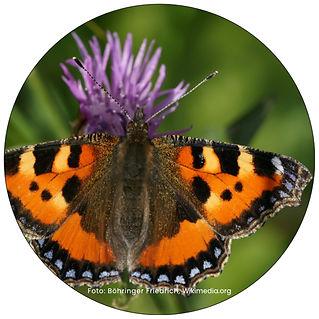 Kleiner Fuchs, Schmetterling in Uster, Gartenpflege Uster, Schmeterlingsgarten anlegen