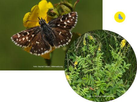 Dickkopffalter, Schmetterlinge in Bülach, Schmetterlingsgarten anlegen, Schmetterlinge Schweiz, Futterpflanze