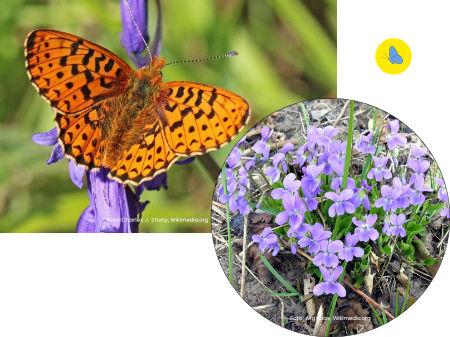 Silberfleck-Perlmuttfalter, Schmetterlinge Schweiz, Futterpflanzen, Schmetterlingspflanze, Dübeldorf