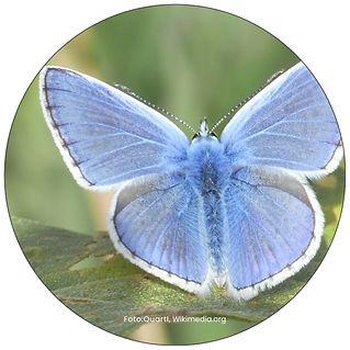 Hauhechel-Bläuling, Schmetterling in Uster, Gartenpflege Uster, Schmeterlingsgarten anlegen