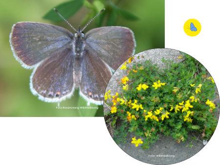 Kurzschwänzige Bläuling, Schmetterlinge Schweiz, Futterpflanzen, Schmetterlingspflanzen, Zürich