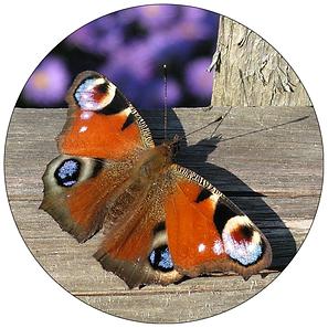 Tagpfauenauge, Schmetterling in Winterthur, Gartenpflege Winterthur, Schmetterlingsgarten anlegen in Winterthur