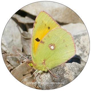 Schmetterling in Wallisellen, Gartenpflege Wallisellen, Schmeterlingsgarten anlegen
