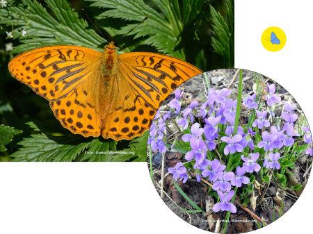 Kaisermantel, Schmetterling, Futterpflanze, Zürich