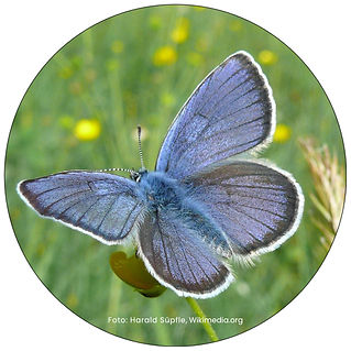 Rotklee Bläuling, Schmetterling in Illnau-Effretikon, Gartenpflege Illnau-Effretikon, Schmeterlingsgarten anlegen