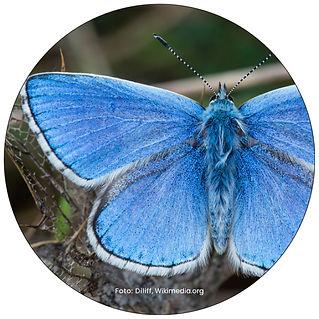Himmelblauer Bläuling, Schmetterling in Zürich, Gartenpflege Zürich, Schmeterlingsgarten anlegen