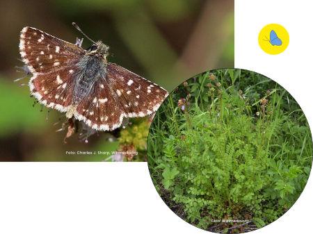 Roter Würfel - Dickkopffalter, Schmetterlinge in Bülach, Schmetterlinge Schweiz, Raupenfutterpflanze