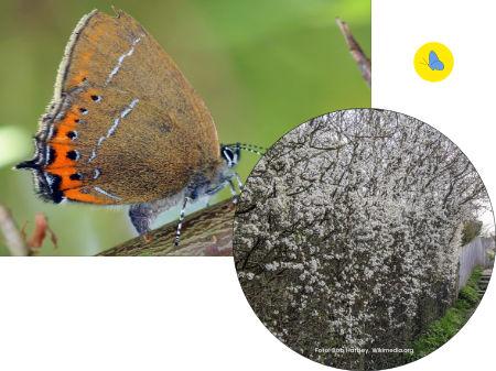 Schmetterling Bülach, Schmetterlingsgarten anlegen, Schmetterlinge Schweiz, Futterpflanze