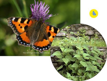 Kleiner Fuchs, Schmetterling, Futterpflanze, Zürich