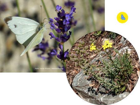 Karstweissling, Schmetterlinge in Bülach, Schmetterlingsgarten anlegen, Schmetterlinge Schweiz bestimmen, Schmetterlings Futterpflanze