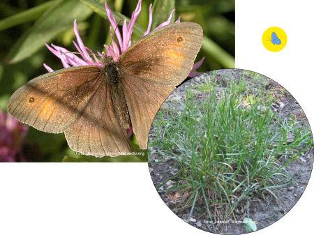 Grosse Ochsenauge, Schmetterling, Futterpflanze, Schmetterlingspflanze, Zürich
