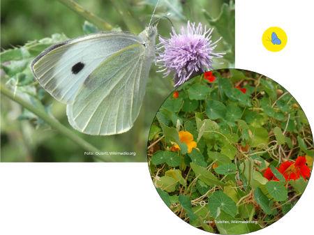 Grosse Kohlweissling, Schmetterling, Futterpflanze, Schmetterlingpflanze, Zürich
