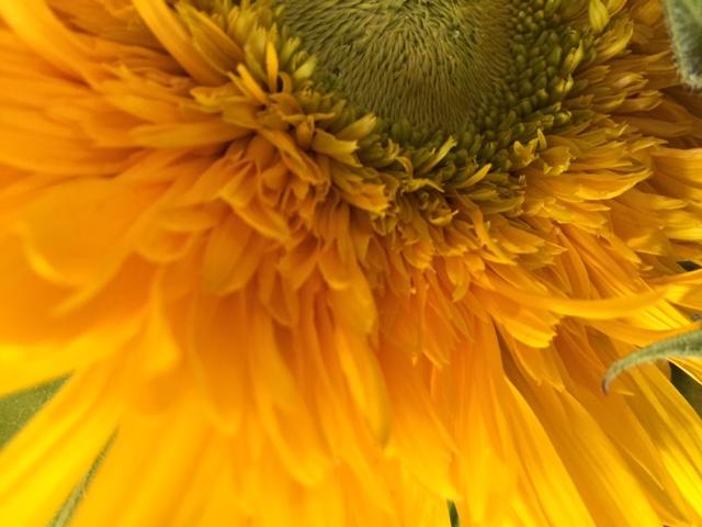 SunflowerPetals