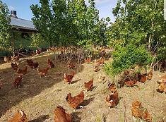 poules1.jpg