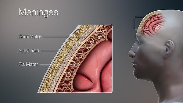 APEX 3D_Medical_Illustration_Meninges.jp
