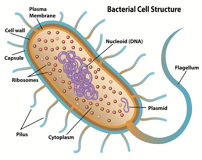 APEX Cell Structure.png