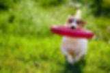 dog playing with ring.jpg