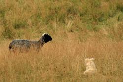 Owieczka i jej towarzysz