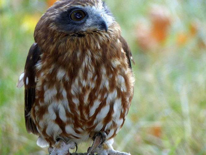 Birds of Prey Falconry Oak Fair