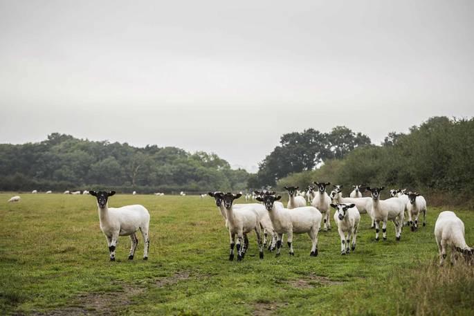 Sheep Farming Dorset