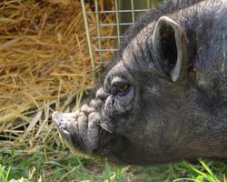 Mikado le cochon