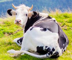 Les vaches qu'on aime