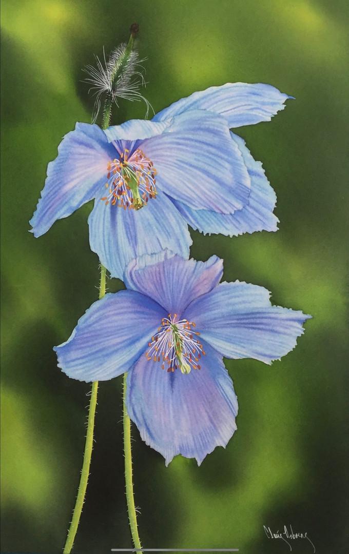 Himalayan Blue Claire Osborne 20x13.5 $9