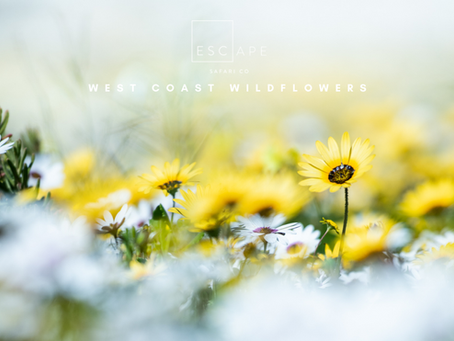 The Wild Flowers of the Western Cape