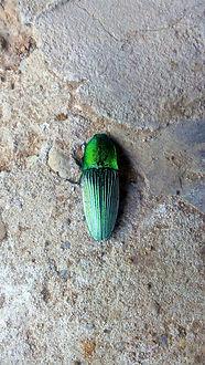 scarabé-emeraude-pérou-lucilleaimee.JPG