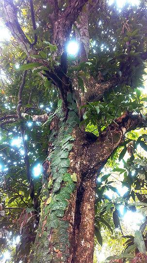 arbre-medecine-Pérou-lucille aimée.jpg
